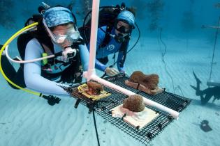 Divers installing coral fragments in a nursery