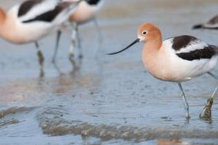 Avocets on the shore of Lake Michigan