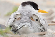 Least tern with chicks​