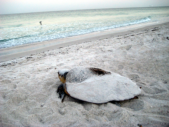 mother-turtle-nesting(lorie-hagels).jpg