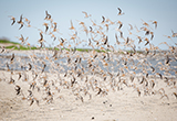 Red knots along the Delaware Bay