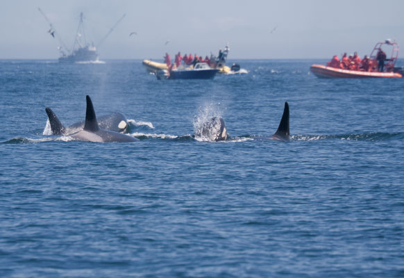 Killer whales and boat traffic near the San Juan Islands