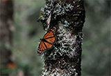 Monarch butterfly on a tree